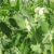 Wymagania roślin strączkowych, łubin i seradela