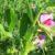 Wymagania wyki, koniczyny i lucerny